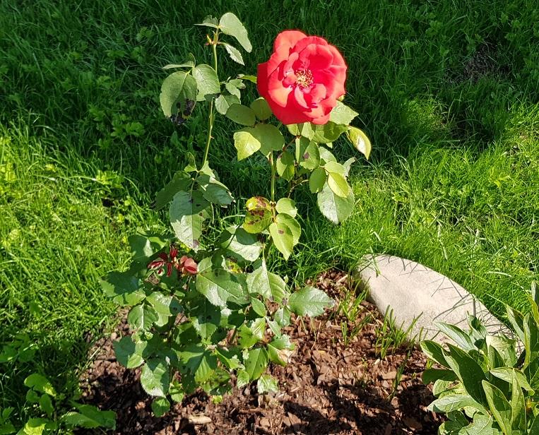 Paradies: diese wilde Rose hat Silke aus einem verwahrlosten Rasenstück gerettet. Foto ist © Manfred Laib